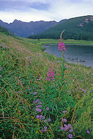 Fireweed grows at Piney Lake with the Gore Range in the background, Eagle County, Colorado