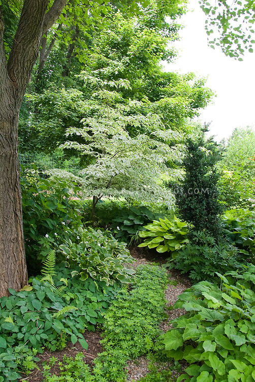 PR Image from Graham Rice's book, Planting the Dry Shade Garden. High branched shade from a tall tree and shade from a lower branched tree (variegated Cornus). Plantings include Galium odoratum, ferns, hosta, Epimedium