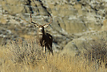 12-285. A mule deer buck on a ridge in the badlands of North America.