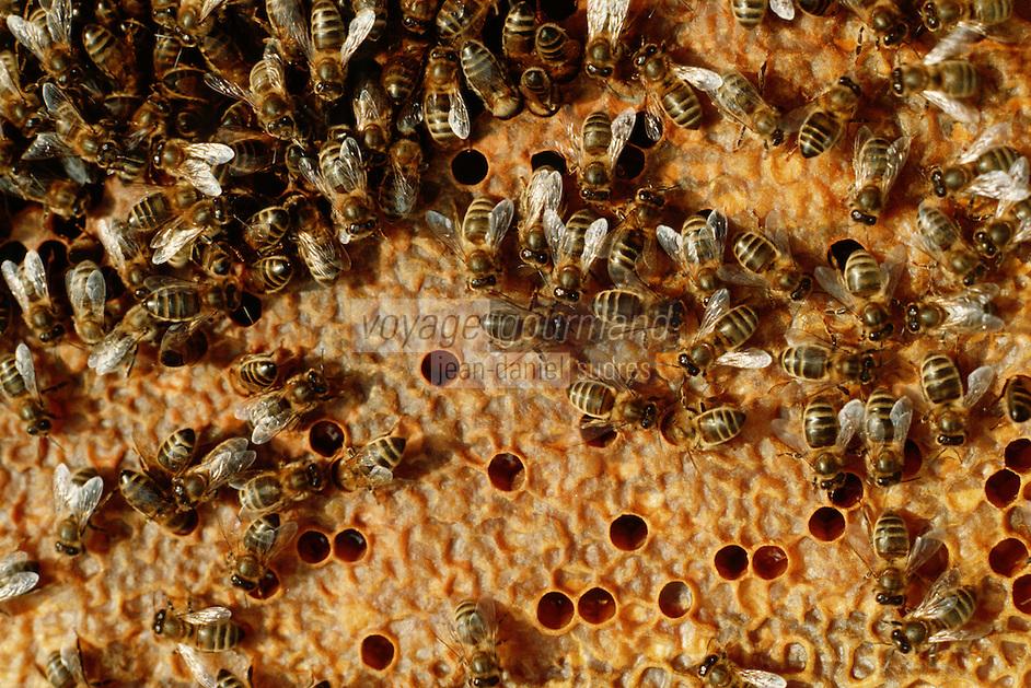 Europe/France/Aquitaine/24/Dordogne/Périgord Noir/Auriac-du-Périgord: Ecomusée de l'abeille - Apiculture - Détail abeilles