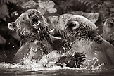 USA, Alaska, grizzly bears wrestling, Wolverine Cove, Redoubt Bay (B&W)