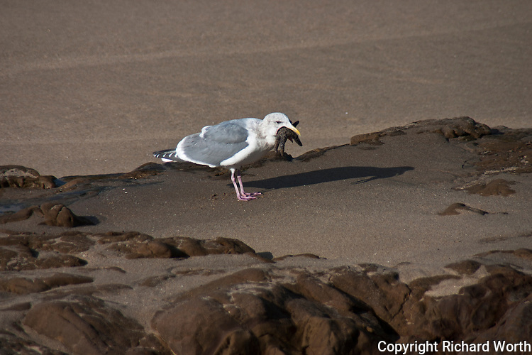 This Western Gull, trying to make lunch of a sea star, has managed to get two legs in its mouth, but the other three remain a challenge.