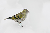 Eurasian Siskin (Carduelis spinus), female perched on snow, Zug, Switzerland, December 2007