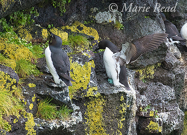 Thick-billed Murres (Uria lomvia), nesting on cliff face, egg visible, St. Paul Island, Pribilofs, Alaska, USA<br />