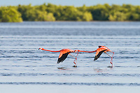 American Flamingos (Phoenicopterus ruber) take off in lock-step. Las Salinas, Cuba.