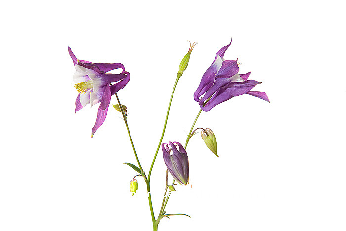 30099-00307 Purple Columbine (Aquilegia) on white background, Marion Co, IL