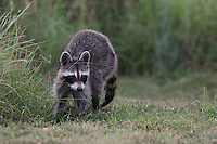 "Texas Raccoon, late evening. Known as the backyard ""bandit"" that's easy to spot with its black facemask and bushy, ringed tail. These animals are nocturnal."