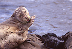 Harbor seal vocalizing to pup