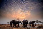 African bush elephants (Loxodonta africana), Okavango Delta, Botswana<br /> <br /> Canon, EF lens, Fujichrome Velvia film