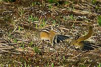 Yellow-pine Chipmunks (Tamias amoenus)