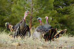 Merriam Turkeys Fighting