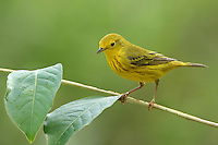 Yellow Warbler and Myrtle Tree leaves.
