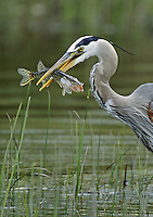 A great blue heron with a freshly caught juvenile northern pike in its bill.