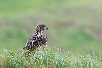 Immature bald eagle perched on a grassy dune in Dutch Harbor, Aleutian Islands, Alaska