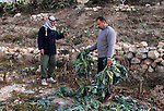 Palestinian farmers inspect their field which destroyed by jewish settlers in the village of Tel near the West Bank city of Nablus, Saturday, Dec.18, 2010. Jewish settlers from Havad Kad settlement destroyed farmers crops and painted alot of slogans in Hebrew. Photo by Wagdi Eshtayah
