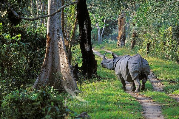 Asian One-horned rhinoceros.  India.