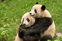 two sub-adult giant pandas. one hugging the other. (Ailuropoda melanoleuca)  China Conservation and Research Center for the Giant Panda,  Wolong Nature Reserve, Sichuan, China