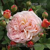 Gisela, FLOWERS, BLUMEN, FLORES, photos+++++,DTGK2053,#f#