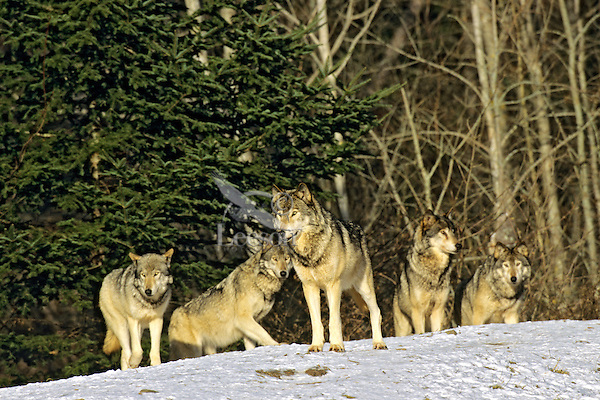 Pack of Gray Wolves (Canis lupus)