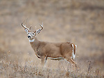 A nice whitetail buck in open grassland in Montana