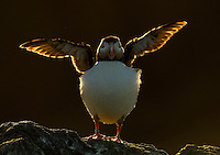Atlantic Puffin Fratercula arctica stretchng its wings on a cliff top, Sule Skerry, Scotland, UK