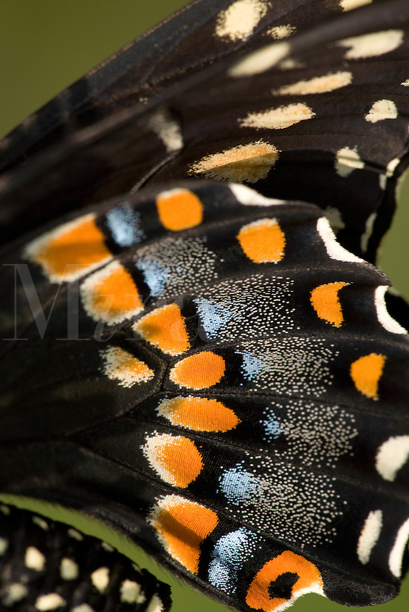 Black Swallowtail Butterfly Wings