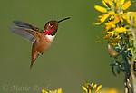 Allen's Hummingbird (Selasphorus sasin) male hovering near bladderpod flower while feeding on nectar, Bolsa Chica Ecological Reserve, California, USA