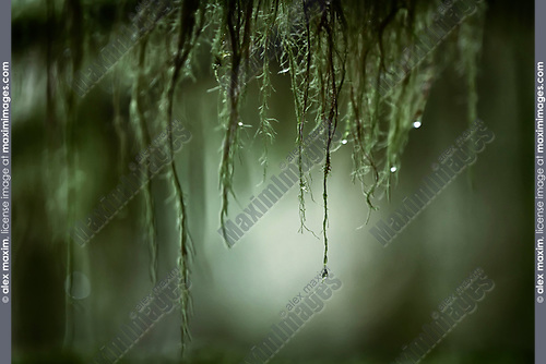Artistic close-up of water droplets hanging from mossy tree branches in a surreal tranquil nature scenery in deep green colors at Vancouver Island, BC, Canada. Image © MaximImages, License at https://www.maximimages.com