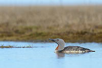 Adult Red-throated Loon (Gavia stellata) swimming in a tundra pond. Yukon Delta National Wildlife Refuge, Alaska. June.