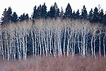 Quaking Aspen (Populus tremuloides) trees in winter, Riding Mountain National Park, Manitoba, Canada