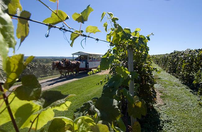Wagon pulls visitors through vineyards of Hunt Country Vineyards near Branchport.