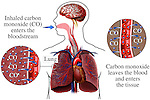 Lungs - Carbon Monoxide Gas Poisoning. This medical exhibit illustrates the mechanism in which carbon monoxide poisoning occurs. It includes an orientation figure with a complete respiratory system and brain. There a two insets giving a magnified view to the exchange of carbon monoxide molecules within the lung tissue.