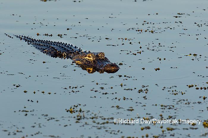 02929-00903 American Alligator (Alligator mississippiensis) Viera Wetlands Brevard County, FL