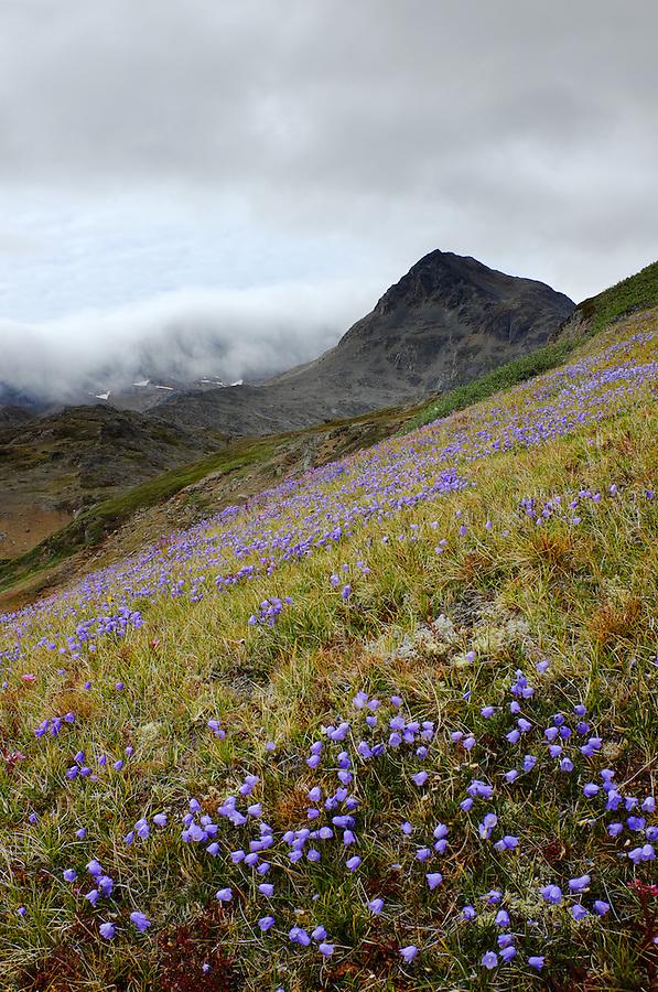 Wildflower meadow in Valley of the Flowers, Tasiilaq, Ammassalik Island, East Greenland