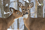 White-tailed doe and her fawn deep within the northern forest.