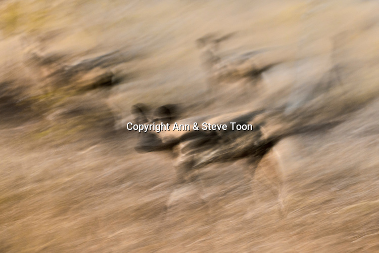 AMPW178 African wild dog (Lycaon pictus), Zimanga private game reserve, KwaZulu-Natal, South Africa, June 2017