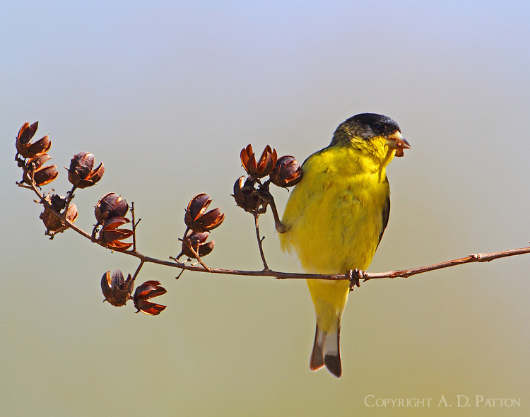 Male lesser goldfinch eating crepe myrtle seeds