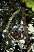 Amazon, Brazil. Monkey on a tree.