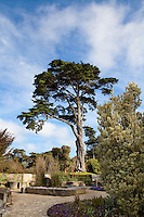 Monterey Cypress tree (Cupressus macrocarpa) towering over entry inside San Francisco Botanical Garden