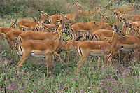 Impala (Aepyceros melampus), Tarangire National Park, Tanzania.  June.