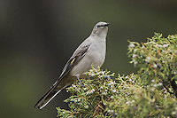 Townsend's Solitaire, Myadestes townsendi, adult on juniper tree, Yellowstone NP,Wyoming, September 2005