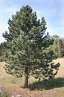 Schwarz-Kiefer, Schwarzkiefer, Kiefer, Pinus nigra, Pinus austriaca, Black Pine