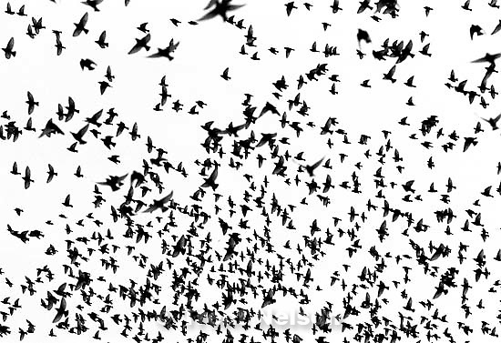 Starlings swarming by the thousands along I-80 in Lehi.   &amp;#xA;<br />