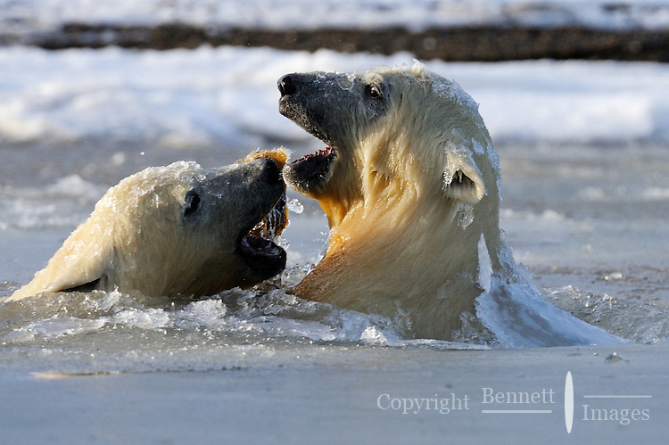Two polar bear cubs play in slush ice along a barrier island outside Kaktovik, Alaska. Every fall, polar bears gather near the community, on the northern edge of ANWR, waiting for the Arctic Ocean to freeze. The bears have become a symbol of global warming.