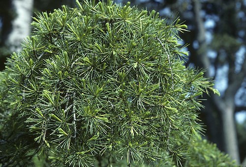 Deodar Cedrus deodara (Pinaceae) HEIGHT to 36m <br /> Broadly conical evergreen with drooping leading shoot on the tapering crown.. BARK Almost black on old trees, fissured into small plates. BRANCHES With drooping tips. LEAVES In whorls of 15&ndash;20 on short lateral shoots, or in spirals on larger twigs. Needles are 2&ndash;5cm long, shortest on lateral shoots, dark green with pale-grey lines on either side. REPRODUCTIVE PARTS Male flowers purplish, turning yellow with autumn pollen release, to 12cm long. Mature female cones are solid and barrel-shaped, to 14cm long and 8cm across, growing only on older trees. STATUS AND DISTRIBUTION Native of W Himalayas. Introduced into Britain in 1831 and widely planted in parks and gardens, where it can form a stately tree.