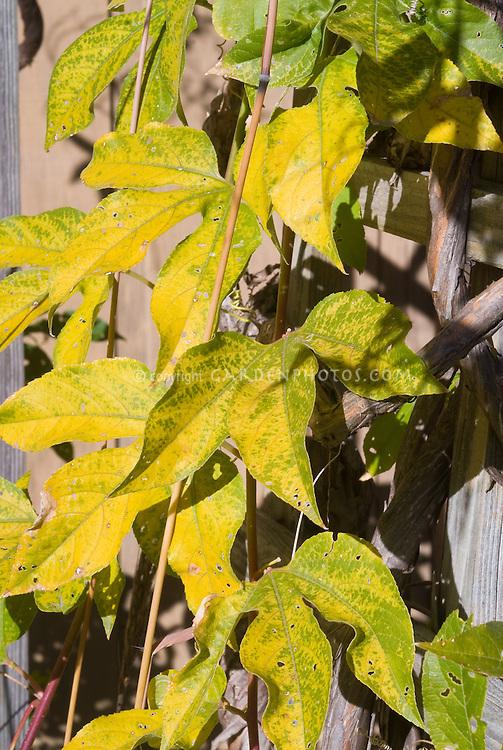 Passiflora incarnata Maypop native American vine in fall foliage autumn color Purple Passion flower