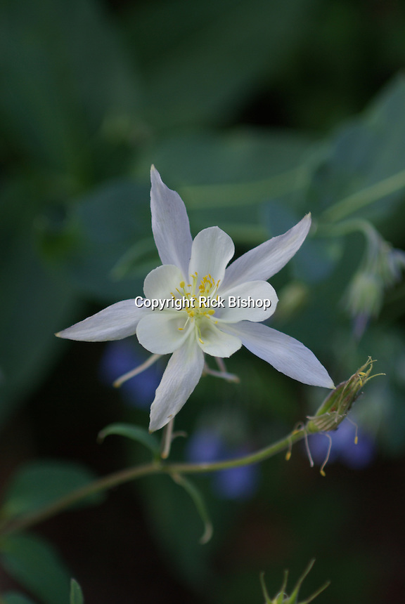 A Blue Columbine seen in a White color in the mountains in southern Utah, on a summer day.