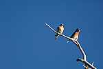 Western bluebird, Sialia mexicana, pair, male, female, aspen, snag, clear, blue sky, Upper Beaver Meadows, spring, bird, nature, wildlife, Rocky Mountain National Park, Colorado, Rocky Mountains, USA