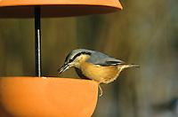 Kleiber, an der Vogelfütterung, Fütterung, Winterfütterung, Spechtmeise, Sitta europaea, Eurasian nuthatch