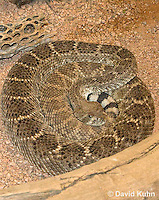 0516-1105  Western Diamondback Rattlesnake, Texas Diamond-back, Crotalus atrox  © David Kuhn/Dwight Kuhn Photography
